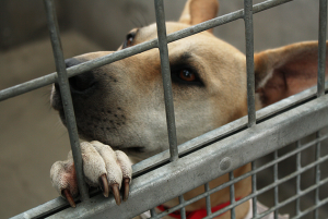 Sadly, millions of dogs who walk into shelters each year will never walk out. Spay/neuter surgeries can significantly reduce the number of animals put down. Image via Flickr.