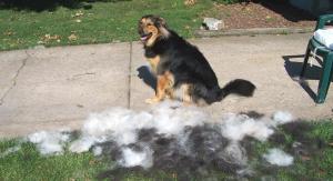 If you have a high-shedding dog, make sure you brush him outside. Image via Flickr.