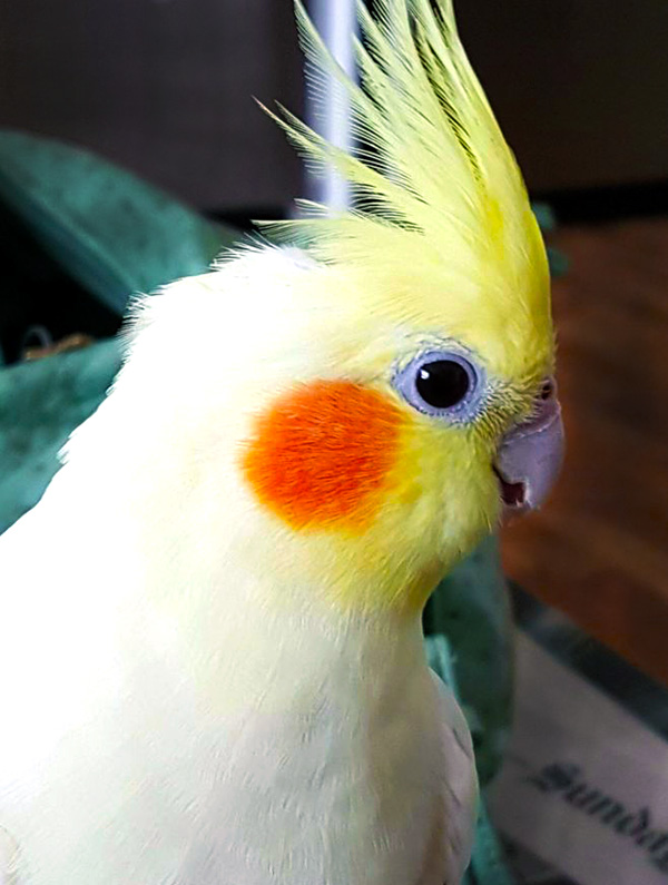 autumn the clear pied cockatiel