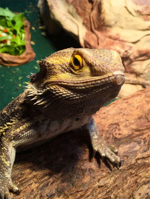calcifer the bearded dragon rover pet sitting