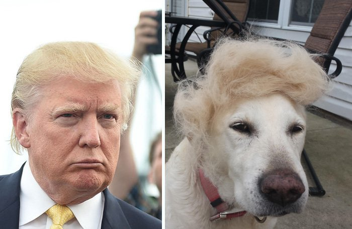 donald trump yelow labrador hair combover