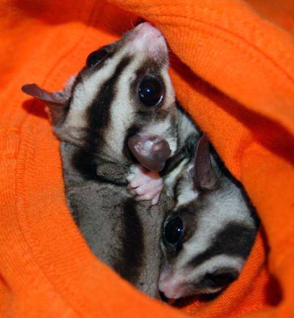 sassy and guy the sugar gliders rover pet sitting