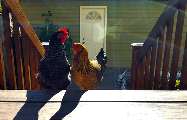 suburban chickens rover pet sitting