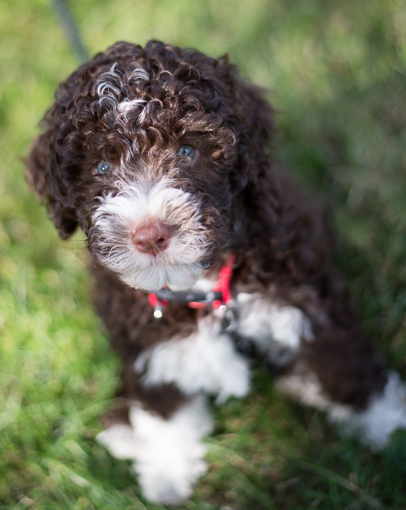 westminster-Lagotto-Romagnolo