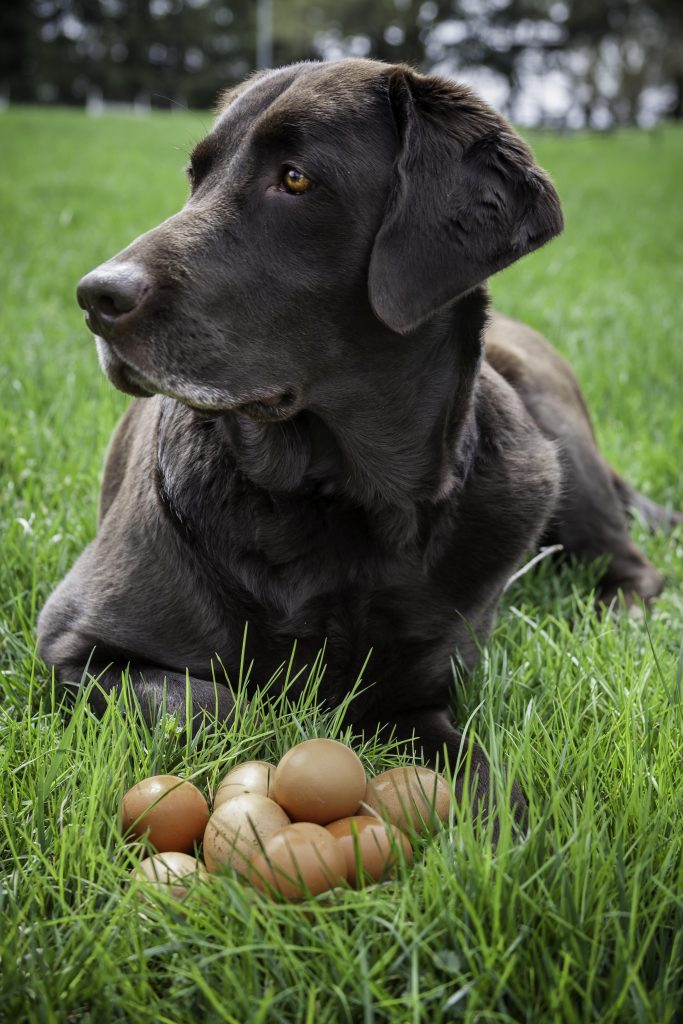 Can Dogs Eat Cooked Eggs Daily