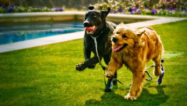 Breed Comparison: Labrador Retriever vs. Golden Retriever