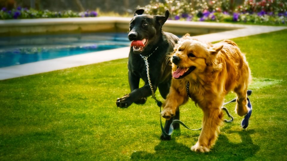 labrador retriever and golden retriever
