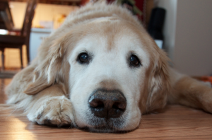 Golden Retrievers used to live well into their teens, but now there is a study to find out why they are getting older faster and are more prone to cancer. Image via Flickr.