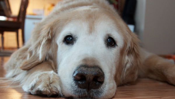 The Top 9 Reasons to Adopt a Senior Dog