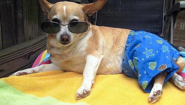 10 Reasons Chihuahuas are the Absolute Best