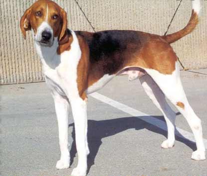 AmericanFoxhound2