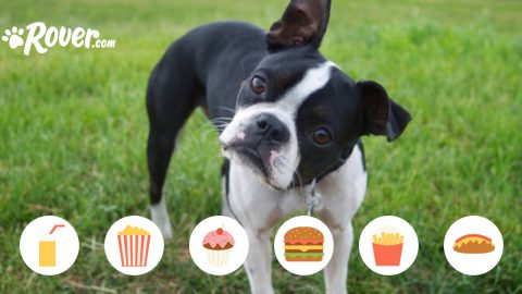 A Boston terrier tilts his head, wondering what foods are safe to eat