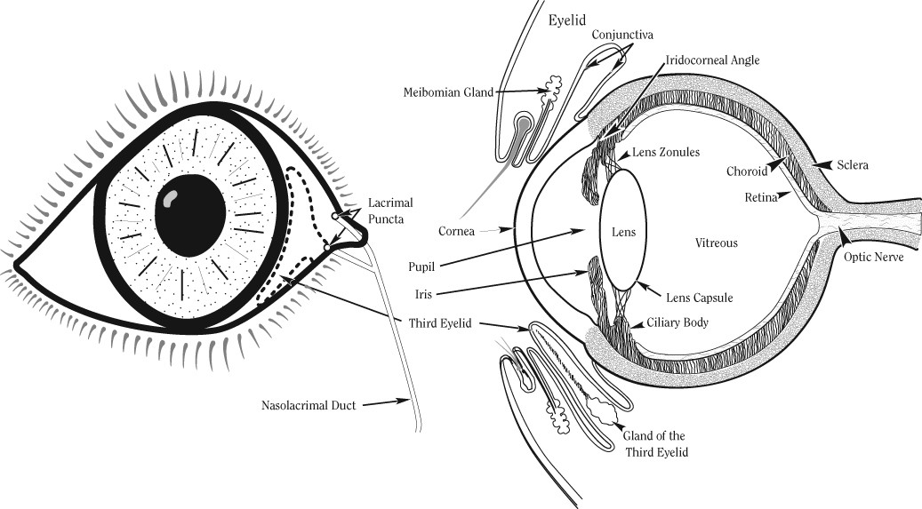 Why are my dogs eyes cloudy rover via veterinary vision inc ccuart Image collections