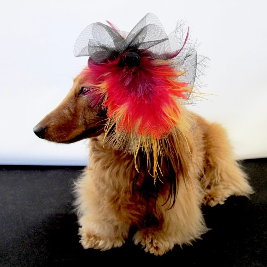 long haired dachshund in fashion hat