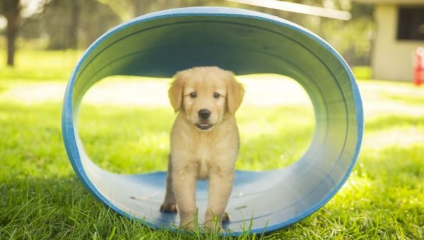 More Than Golden: 5 Fun Facts about the Golden Retriever Temperament