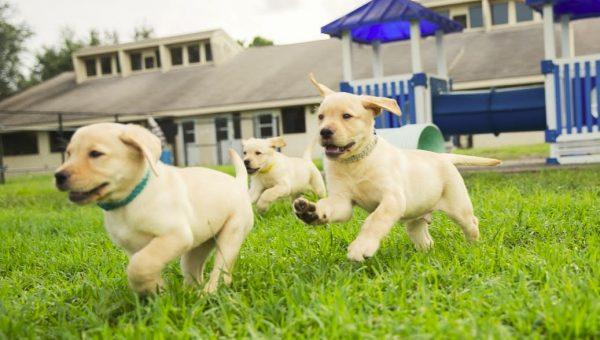 Popular Dog Breeds: Golden Retriever, Part II