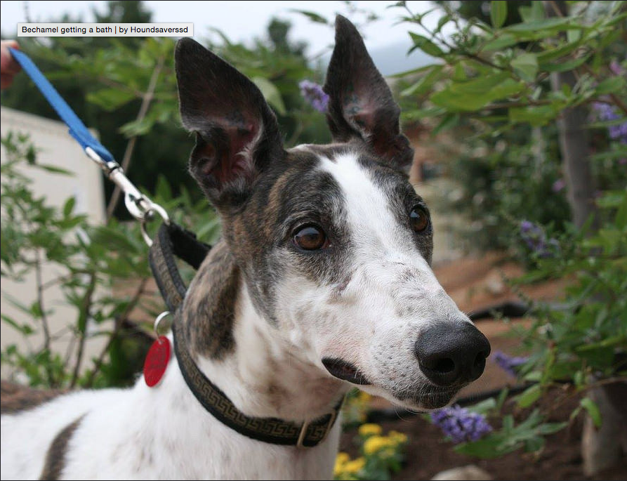 Greyhounds are docile and mild-mannered, making them a great match for kids! Photo courtesy of Greyhound Adoption Center.