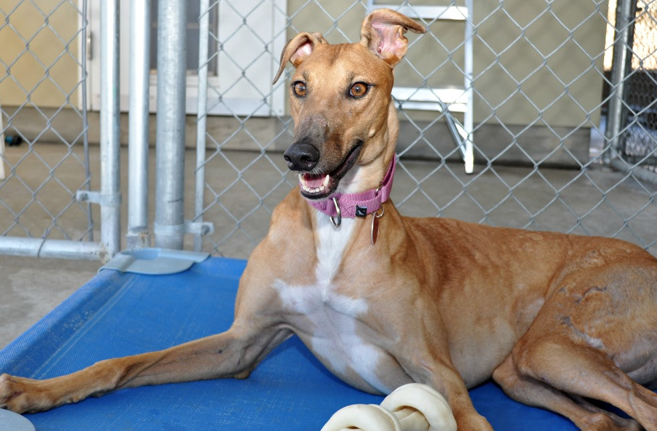 "Think Greyhounds need a ton of exercise? Think again! Those who know the breed affectionately refer to them as ""40-mph couch potatoes."" Photo courtesy of Greyhound Adoption Center."