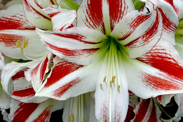 10 popular flowers you might not know are poisonous for dogs the amaryllis mightylinksfo
