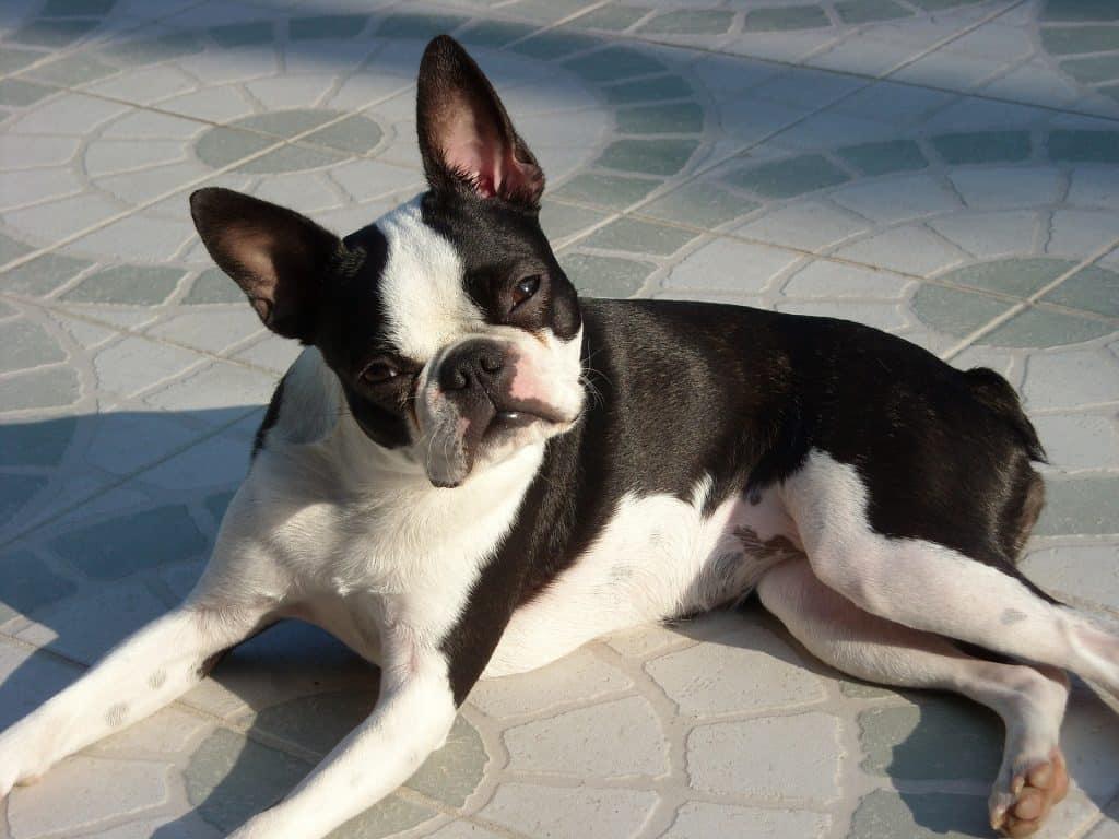 boston terrier på en trottoarkant med huvudet på sned