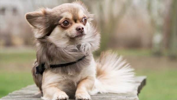 Petites races de chiens qui sont top pour la garde