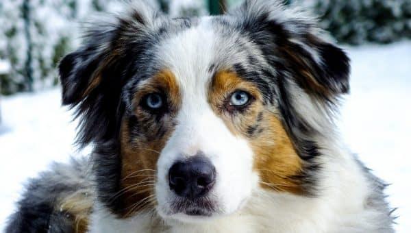 10 hundraser som föredrar människor över hundar