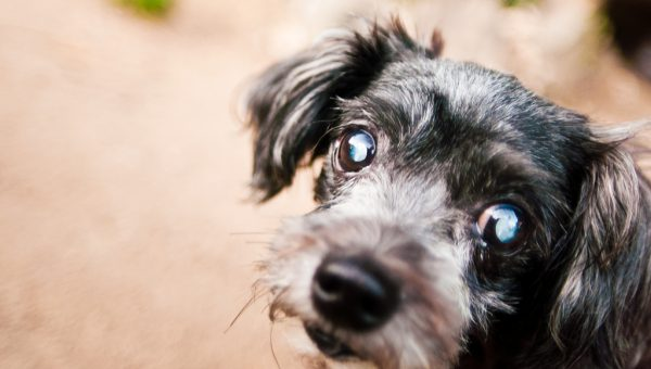 Why are My Dog's Eyes Cloudy?