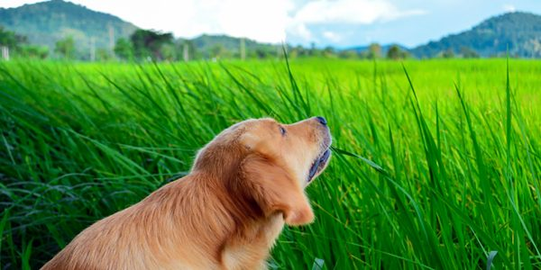 why do dogs eat grass golden retriever eating grass