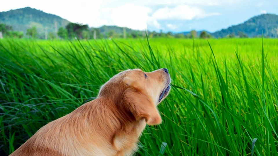 why do dogs eat grass golden retriever eating grass