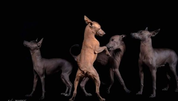 The Amazing Story Behind Mexico's Ancient Dog Breed