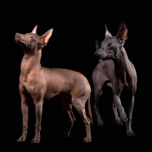 The Amazing Story Behind Mexico's Ancient Dog Breed | The Dog People