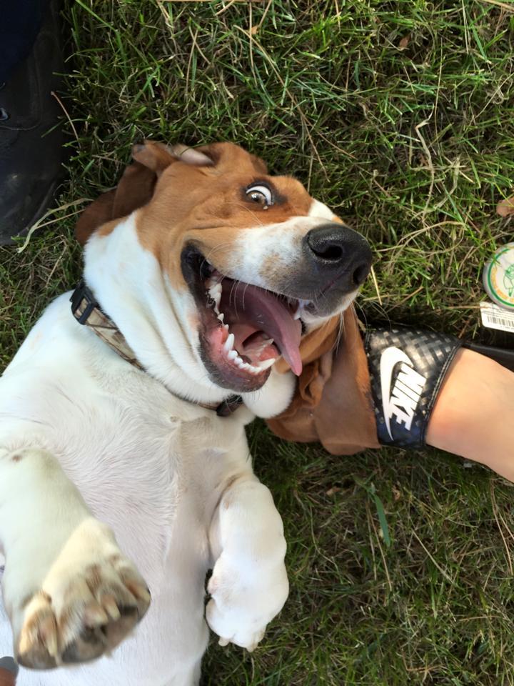 Happy basset hound getting love