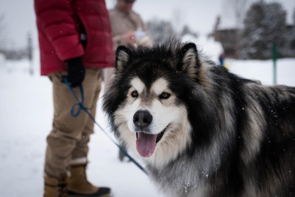 Spotted this Alaskan Malamute with its owner in Breckenridge. She was like a huge teddy bear.