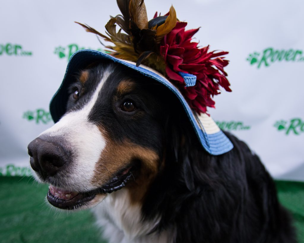 Kentucky Derby Dog Looks Rovers Pups Dress The Part