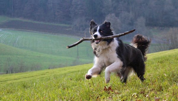The 10 Most Energetic Dog Breeds Need a Walk ASAP