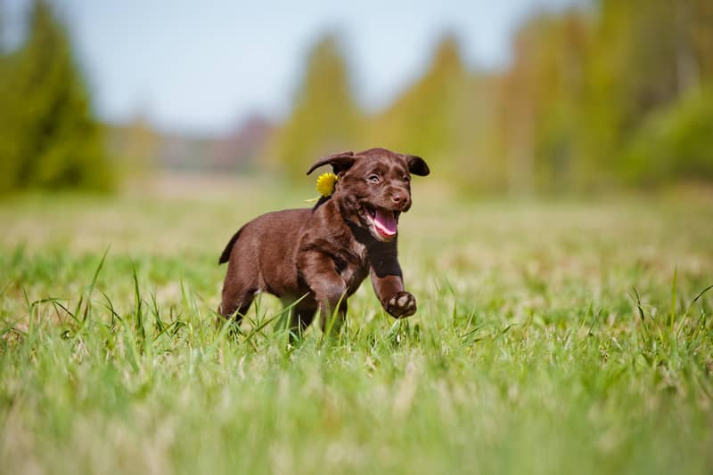 Labrador Retriever Puppies: What You Need to Know About Lab Puppies