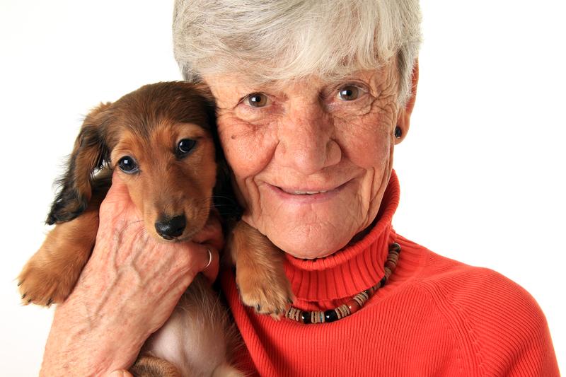 happy senior citizen dachshund puppy