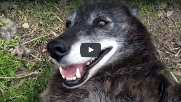You Need This: Rescued Wolfdog Enjoying a Belly Rub [Video]