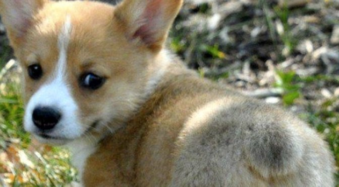 Wagless Wonders 7 Dog Breeds That Dont Have Tails The Dog People