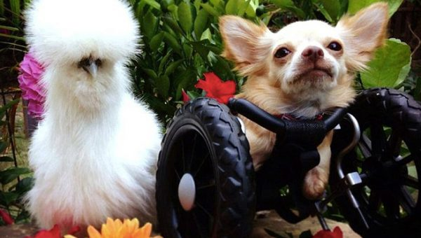 Meet Penny and Roo and 8 other Wheelchair Dogs Winning at Life