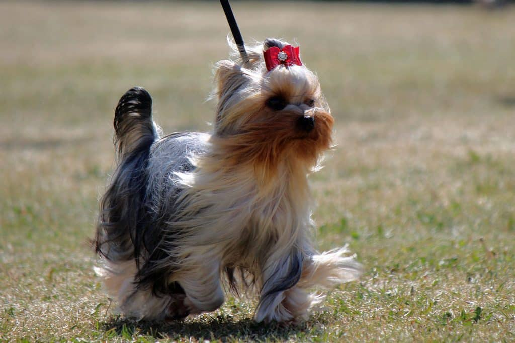 9 Most Talkative Dog Breeds The Dog People By Rovercom