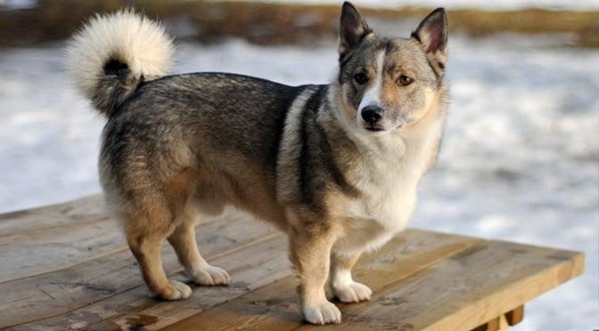Swedish Vallhunds Meet The Rare Dog That Looks Like A