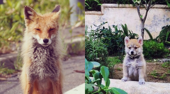 5 Amazing Pomskies That Totally Look Like Tiny Foxes The