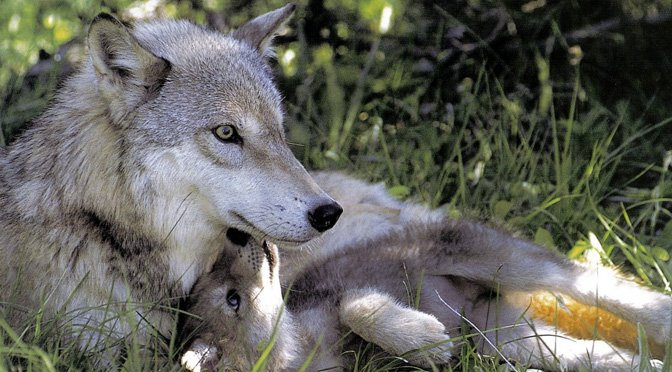 10 Wolf And Wolfdog Puppies So Cute We Just Cant The Dog People