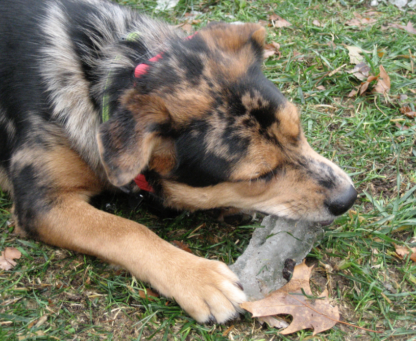 Yes, dogs can eat ice cubes but be careful they don't break teeth—dogs with smaller jaws and teeth are more likely to see cracks.