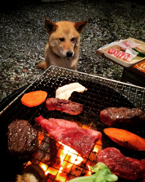 BBQ for dogs shiba inu watching the grill