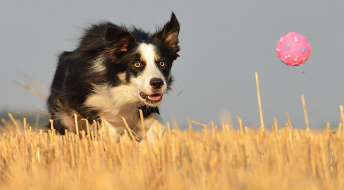7 Things Border Collie People Know by Heart | The Dog People