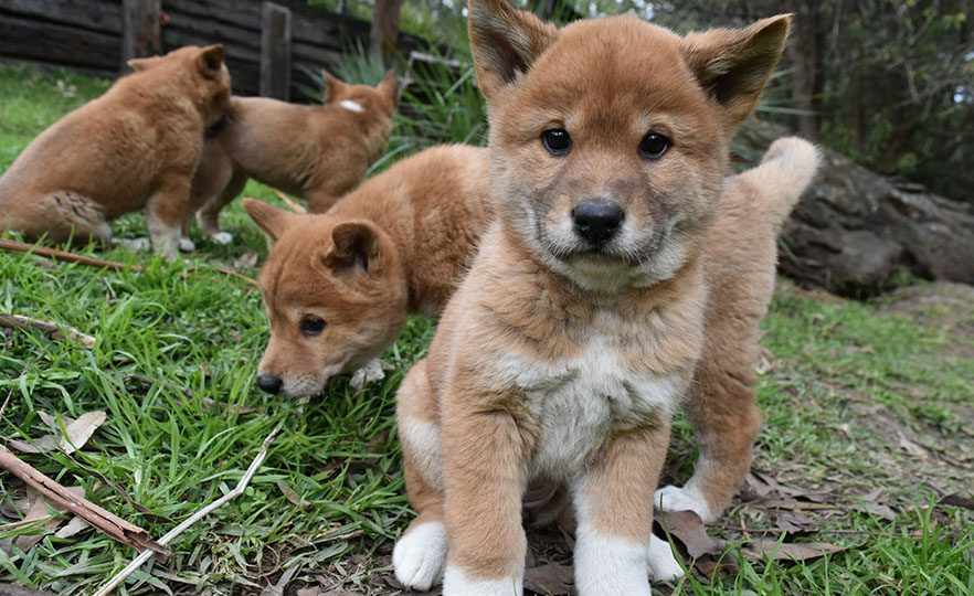 Australian Dingo Dog For Sale