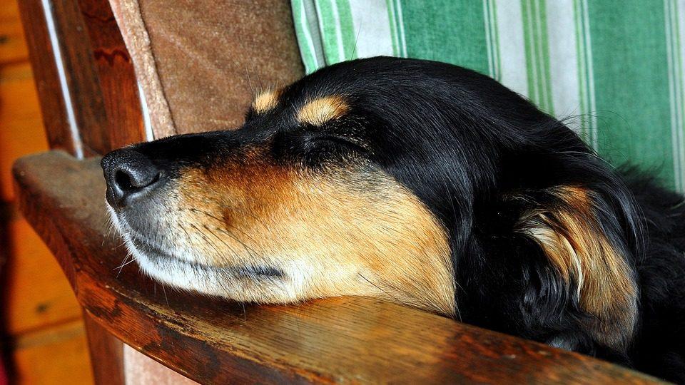 chien qui rêve