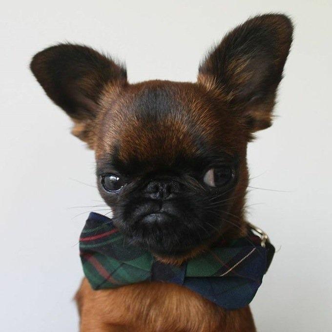 grumpy little dog in a bow tie